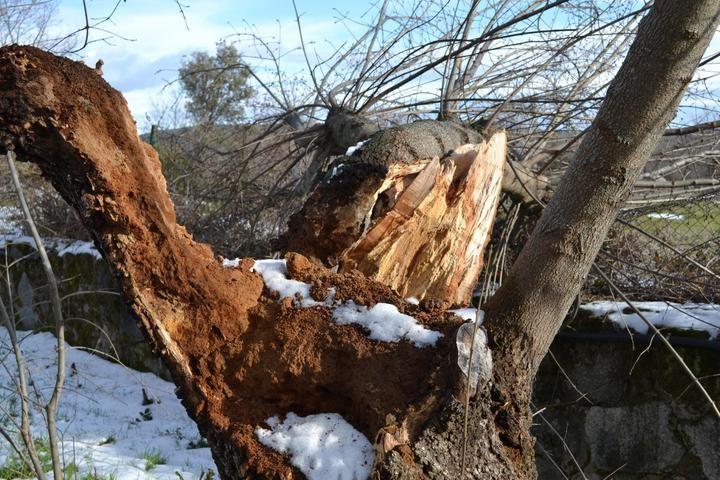 La Comunidad clonará árboles centenarios y singulares derribados por Filomena