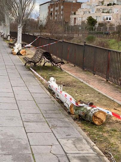 Sustitución de los chopos en el parque del Arroyo de la Vega